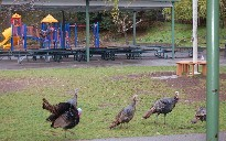 turkeys 009.jpg